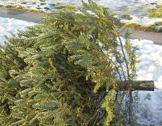 Collecte des arbres de Noël naturels