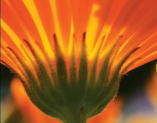 Une fleur orange